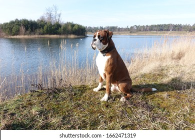 Beautiful male fawn boxer dog posing