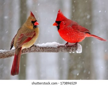 Beautiful Male and female Northern Cardinals (Cardinalis cardinalis) on a snowy day.