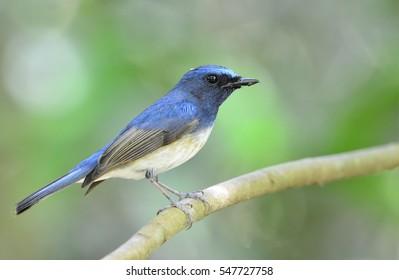 Beautiful male Hainan Blue Flycatcher bird perched on branch (Cyornis hainana)