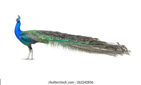 Beautiful Male Indian  Peacock Isolated On White Background.