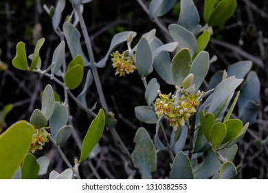 A beautiful male Jojoba plant in bloom. Small, delicate male flowers on a Simmondsia chinensis bush along the Pima Canyon trail, Catalina Mountains in the Sonoran Desert. Tucson, Arizona. 2019.