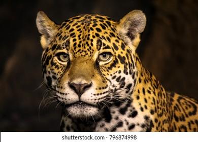 Beautiful Male Leopard Headshot