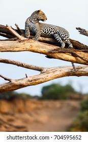 Beautiful male leopard on a tree in Kenya Africa