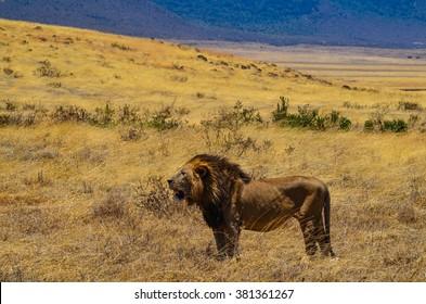 Beautiful male lion in Ngorongoro Crater in Tanzania