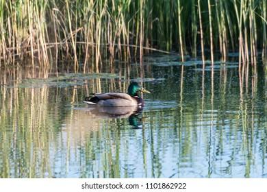 Beautiful male Mallard duck in natural habitat in a pond