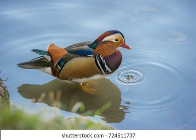 The beautiful male Mandarin Duck (Aix galericulata) with a drip from his beak and with his typical  colorful plumage, Uppland, Sweden