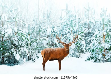 Beautiful male Noble Deer and Christmas tree in the snow in the winter forest. Winter natural background. Christmas image.