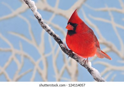 A beautiful male Northern Cardinal (Cardinalis cardinalis) on a snow- covered branch with snowy limbs and blue sky in the background.
