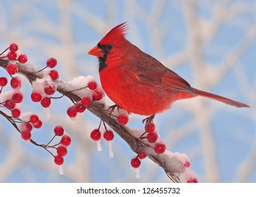 A beautiful male Northern Cardinal (Cardinalis cardinalis) on a snowy branch full of bright red berries with blue sky in the background.