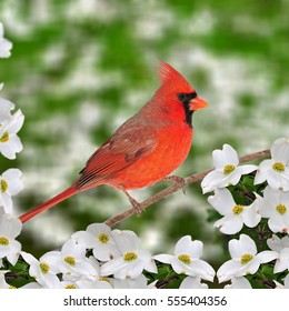 A beautiful male Northern Cardinal (Cardinalis cardinalis) at white dogwood blossoms in springtime.