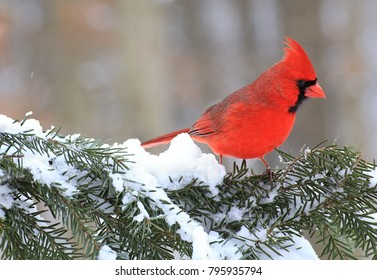 A beautiful male Northern Cardinal (Cardinalis cardinalis) on a snowy spruce bough.