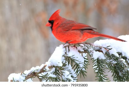 A beautiful male Northern Cardinal (Cardinalis cardinalis) on a snowy spruce branch.