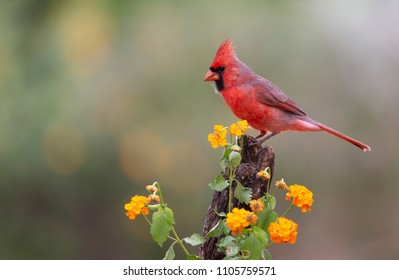 Beautiful Male Northern Cardinal in Southern Texas, USA