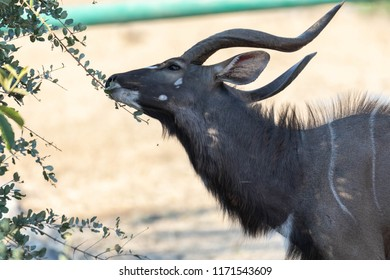 Beautiful male nyala