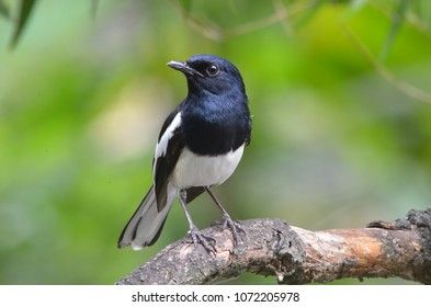 Beautiful male Oriental Magpie-Robin on the bamboo pole, Magpie Robin (Copsychus saularis)