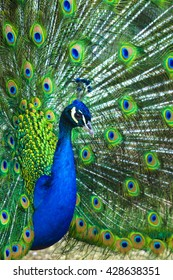 A beautiful male peacock with expanded feathers