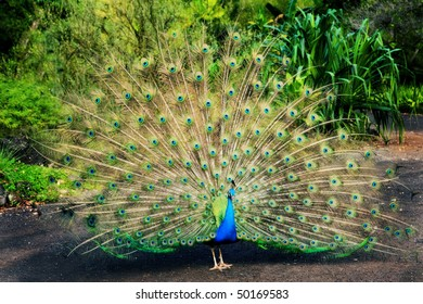 A beautiful male peacock with its feathers fully spread, in a tropical setting