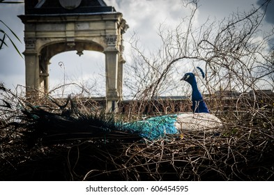 A beautiful male peacock showing off the bright colors of her electric blue feathers as he wanders along the paths of a public park in London