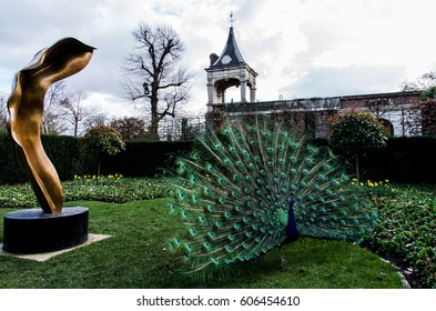 A beautiful male peacock showing its wheel in the act of courting the female, on the green grass of a public park