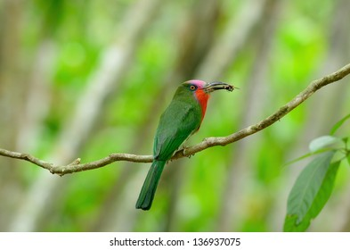 beautiful male Red-bearded Bee-eater (Nyctyornis amictus) with insect at Kaeng Krachan National Park,Thailand