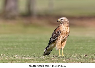 A beautiful male Red-shouldered Hawk posing for me on Hilton Head Island.