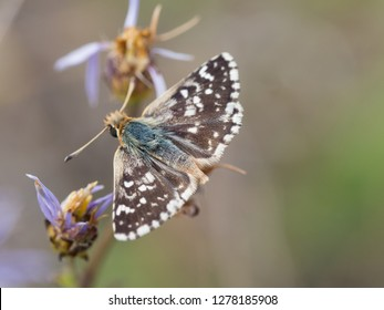 Beautiful male of Red-underwing skipper buttefly ( Spialia sertorius )sitting on a flower