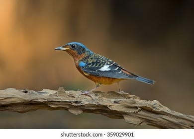 Beautiful Male of Rock Thrush Bird, White-throated Rock Thrush bird standing on the log showing its side profile in nature of Thailand