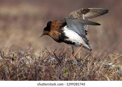 Beautiful male ruff with tribal plumage. Arctic tundra. Scientific ornithology