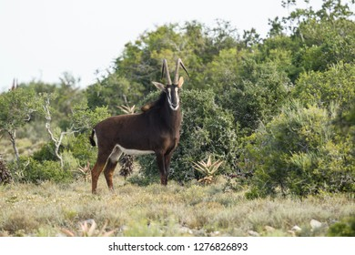 Beautiful male Sable antelope standing alone in a clearing next to thick bush