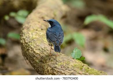 beautiful male Siberian Blue Robin (Luscinia cyane) in Thailand