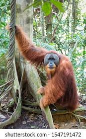 Beautiful male Sumatran Orangutan (Pongo abelii) during a ecotourism jungle hike in Gunung Leuser National Park, Bukit Lawang, Sumatra, Indonesia