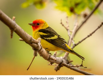 A beautiful male Western Tanager perches in the tree of a Colorado front range garden.