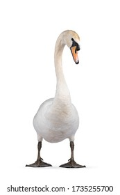 Beautiful male white Mute swan, standing facing front. Looking to camera. Head in curve. Isolated on white background.