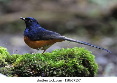 Beautiful male White-rumped Shama (Copsychus malabaricus), standing on the moss ground cover