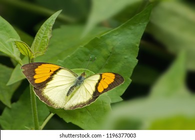 A beautiful male Yellow Orange-tip butterfly (Ixias pyrene) is seated on leaf by spreading colorful wings, close up top view of open wings in a abstract green background, Jayanti buxa, West Bengal