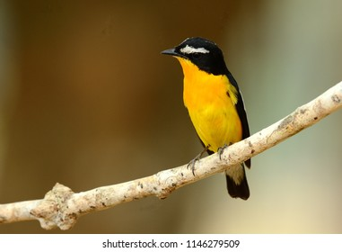 beautiful male Yellow-rumped Flycatcher (Ficedula zanthopygia) standing on branch