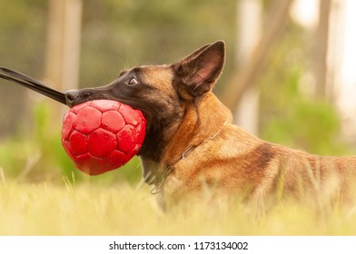 A beautiful Malinois Belgian Shepherd dog and his trainer training with a ball on the grass field on a sunny day.