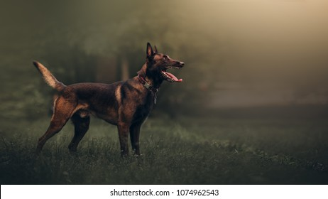 Beautiful Malinois Dog
