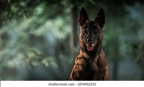 Beautiful Malinois Dog
