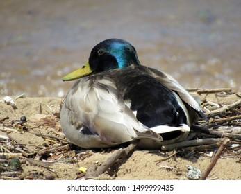 A beautiful  mallard duck with an iridescent blue head, sunning himself on the beach. Grand  Traverse Bay, Michigan