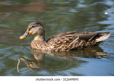 beautiful mallard duck in the water