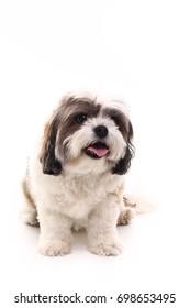 Beautiful Maltese dog