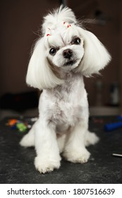Beautiful Maltese toy dog on table in grooming salon.Portrait of adroble little white puppy being groomed in vet clinic.Cute small doggy posing in groomer studio