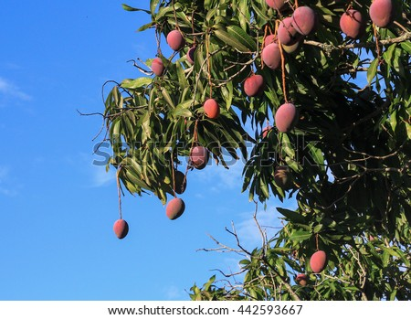 Beautiful Mango Tree Images
