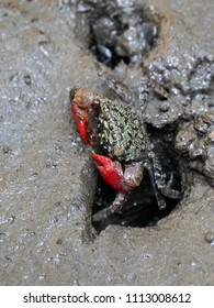Beautiful mangrove crab emerging from its hole and walking on mudflats in mangrove forest during low tide. Colorful mangrove crab living on mudflats in mangrove forest in Thailand.