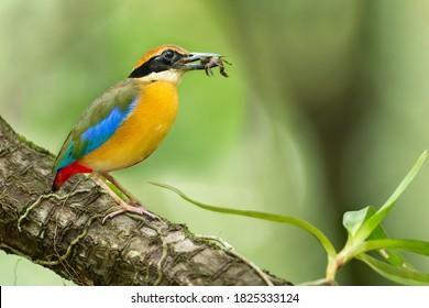 Beautiful Mangrove Pitta bird with prey in Mangrove forest, Phang-Nga Bay, Southern Thailand. Mangrove Pitta hunting