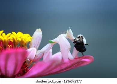 Beautiful mantis orchid on flower, orchid mantis catching prey on flower