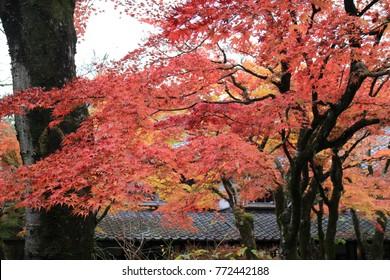 Beautiful maple leaves in Kinrinko Lake, Yufu City, Oita, Japan.