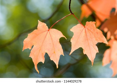 Beautiful maple leaves on green background during foliage in New England, USA
