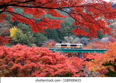 日本福島県の山摺山公園を走る列車とカエデ(もみじ)の美しい葉